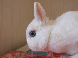 Blue Eyed Netherland Dwarf Rabbits (page 2) - Pics about space